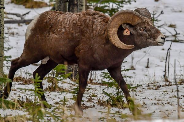 11-14-18 Big Horn Sheep - Sheep Sanctuary