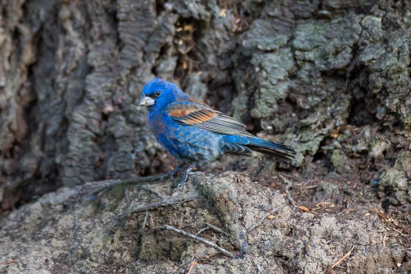 Blue Grosbeak; April 30, 2015; Koll Center Wetlands, Beaverton, Oregon