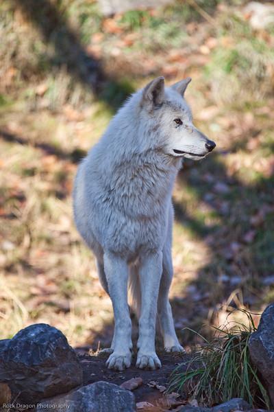 Grey Wolf, Calgary Zoo Oct.31