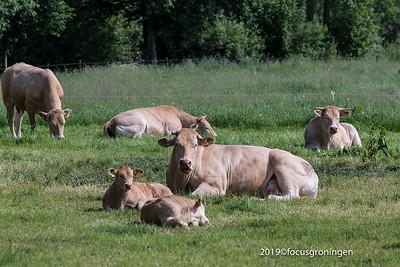 Dieren Koeien