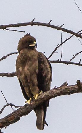 Wahlberg's Eagle