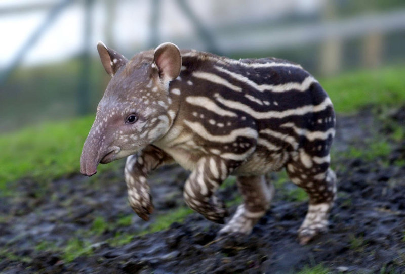 . The Dublin Zoo\'s female Brazilian Tapir baby takes some exercise. The calf was the twelfth offspring of mother Harriet. Found in low lying forests, Brazilian Tapirs give birth to a single young after a 13 month gestation period, with the animals losing their distinctive striped pattern - which acts as camouflage on the forest floor - after around a year.   (AP Photo/PA, Haydn West)
