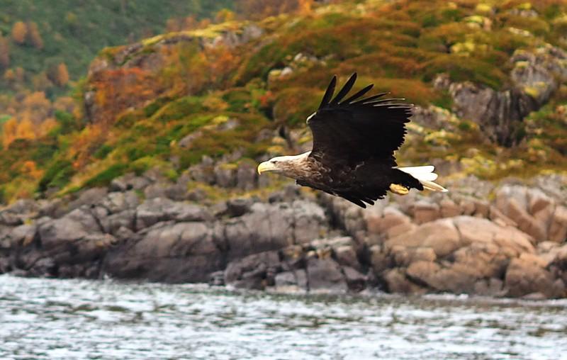 Sea eagles (24).JPG