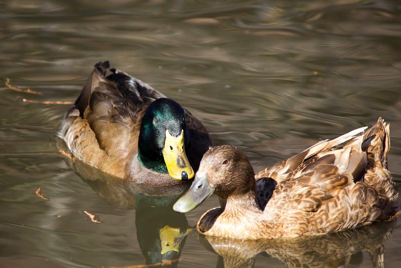 2016_02_27_Ducks_5557.jpg