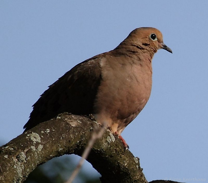Mourning Dove, Levittown Home, Bucks County, Pennsylvania, May 2008