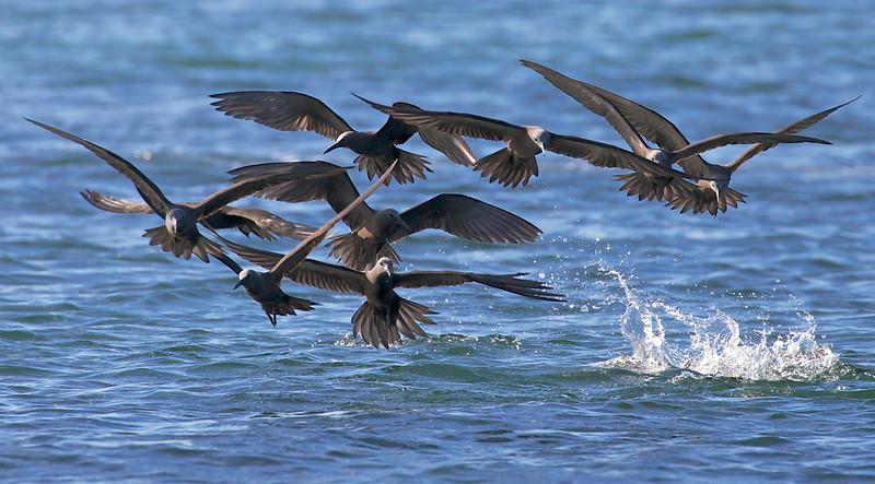 Noddy birds