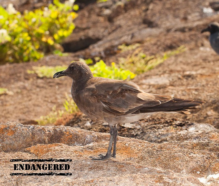 ENDANGERED PAGE WITH STAMP - 2 LAVA GULL.jpg