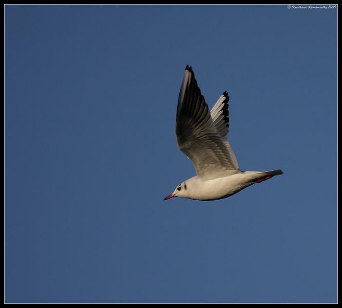 Black-headed gull, Portsmouth, England, UK, December 2009