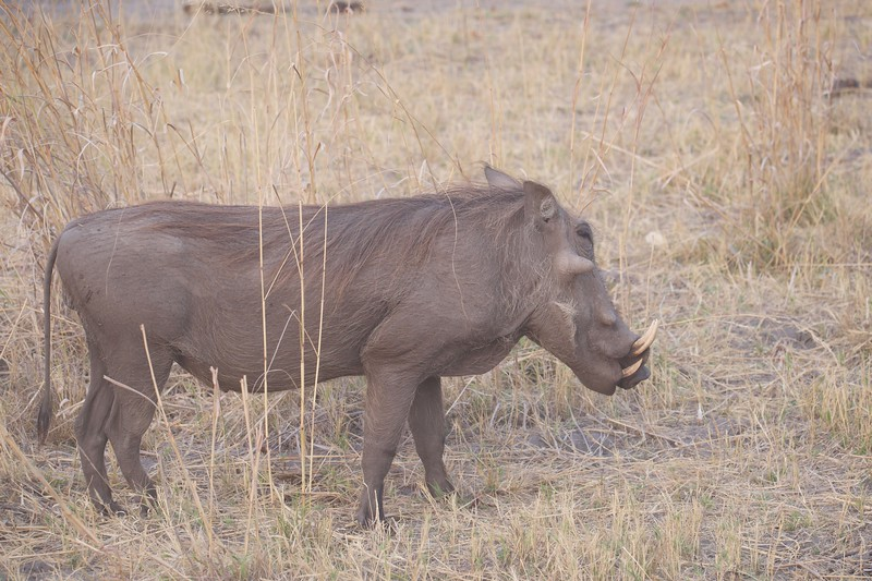 Warthog, Selinda Explorer camp, Botswana