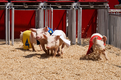 A Day at the (pig) Races