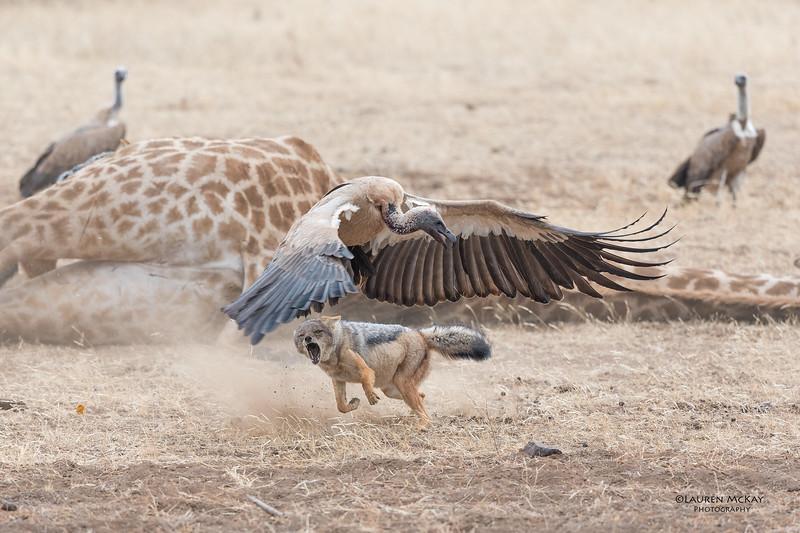 Black-backed Jackal & White-backed Vulture, Mashatu GR, Botswana, May 2017-7.jpg
