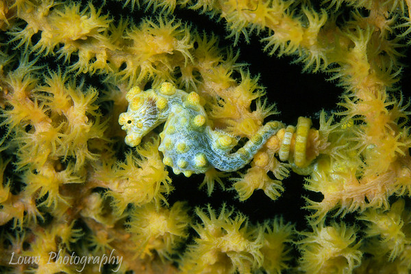 Lembeh Straits - Critters