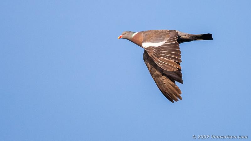 Ringdue - Columba palumbus - Common Wood Pigeon
