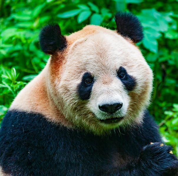 Chong-qing & Panda Zoo