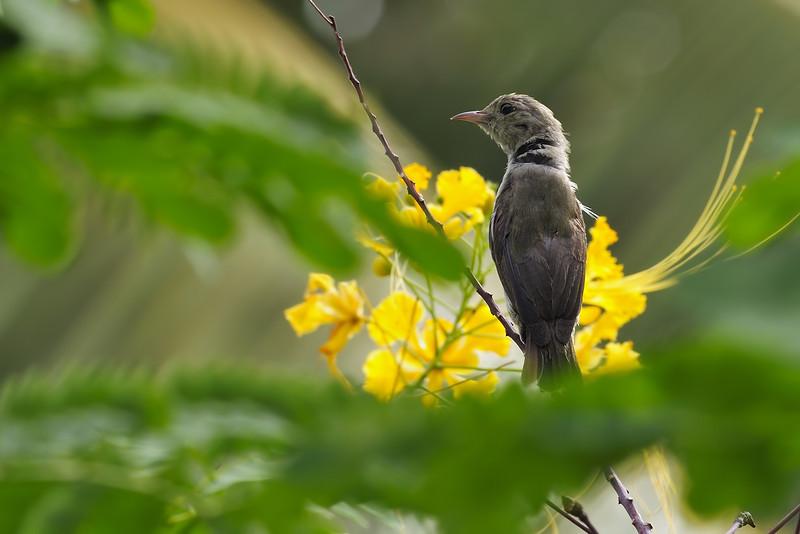 Pale-billed-flowerpecker.jpg