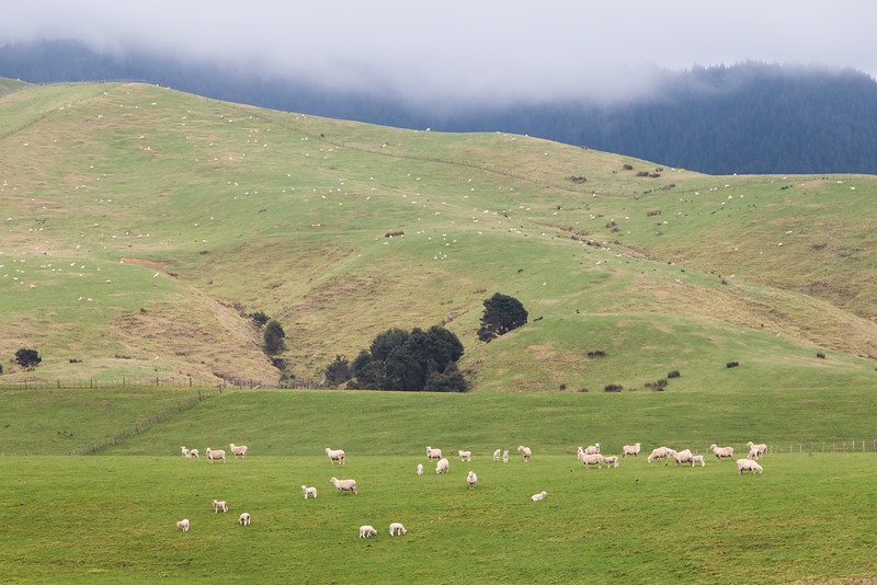 Sheep-splattered hills enroute to Pauanui 5518