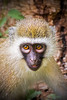 Close up head shot photograph of a young african monkey. Photography fine art photo prints print photos photograph photographs image images artwork.