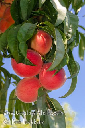 Giant Babcock Peach - Prunus persica sp.