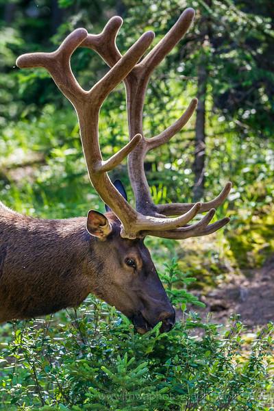 Bull Elk Antlers Town of Banff Banff National Park, Alberta, Canada © 2014
