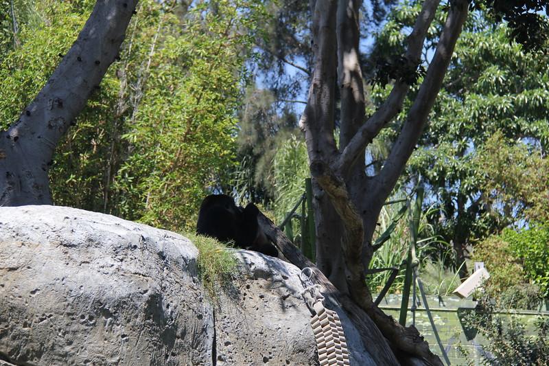 20170807-150 - San Diego Zoo - Gorilla.JPG