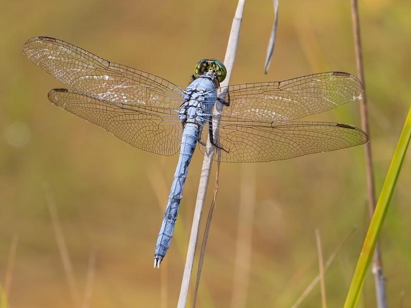 Male, Sedge Meadow at Summit Bridge Ponds, DE