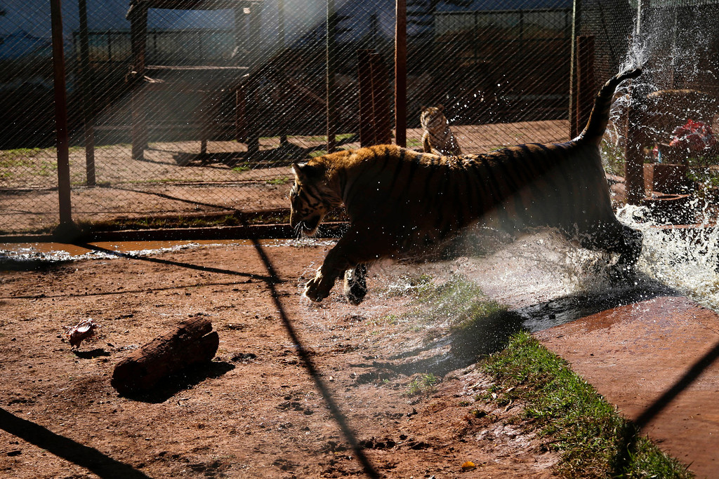 . A tiger leaps out of a pool inside a cage in the backyard of its caretaker Ary Borges in Maringa, Brazil, Thursday, Sept. 26, 2013. Ibama, Brazil\'s environmental protection agency that also oversees wildlife, is working through courts to force Borges to have the male tigers undergo vasectomies so they cannot reproduce, confiscate his caretaker license and obtain the cats. Borges appealed and the matter is pending before a federal court. (AP Photo/Renata Brito)