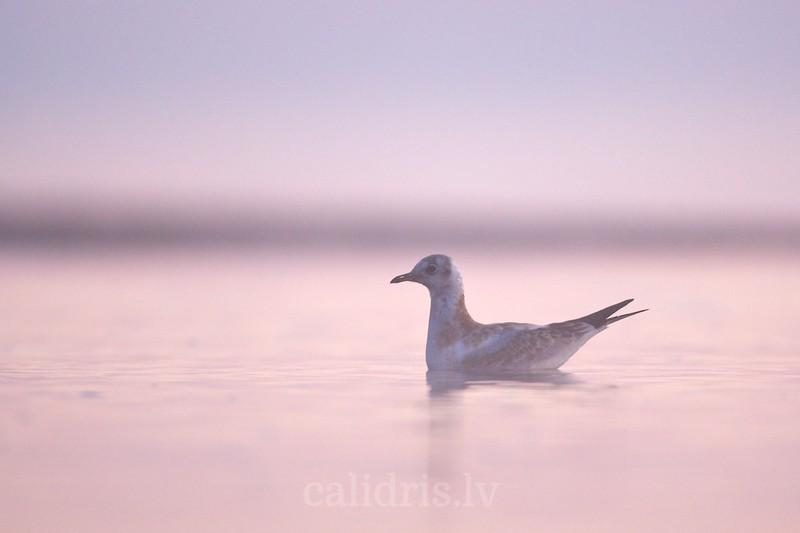 Black-headed gull (juv.) in water