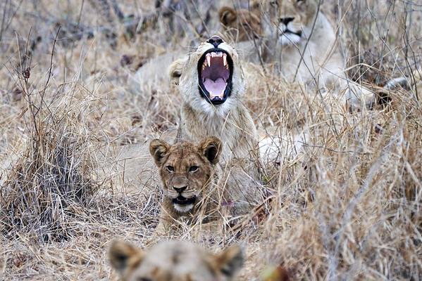 Lion Yawn MalaMala South Africa 2019