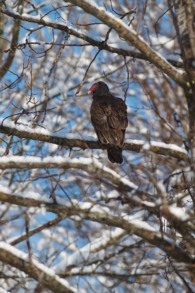 Turkey Vulture snow Fond du Lac Duluth MN IMG_7606.jpg