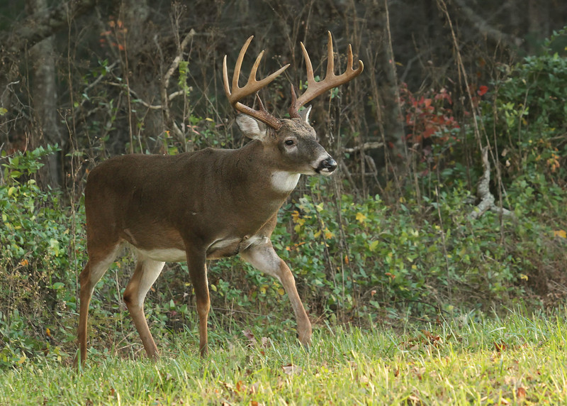 Buck Coming Out of the Woods
