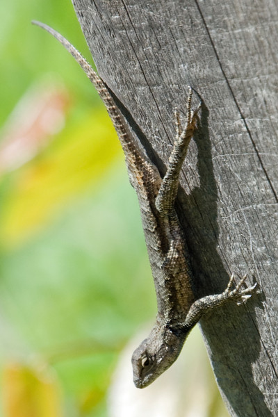 Common Fence Lizard - D3314