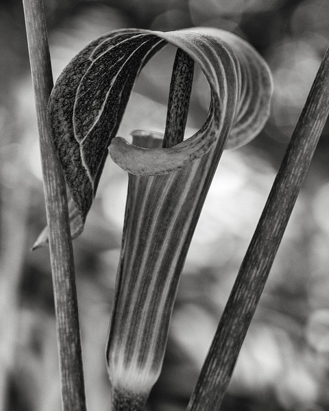 jack-in-the-pulpit.jpg
