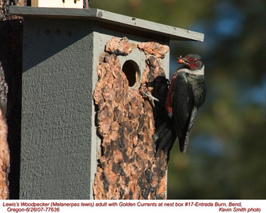 Lewis'WoodpeckerA77636.jpg
