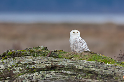 Snowy Owl Irruption 2012