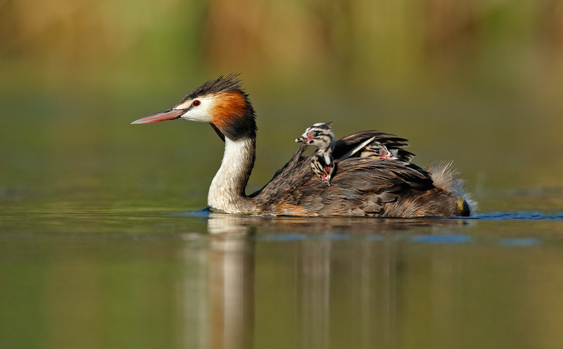 Great-crested Grebe 24.jpg