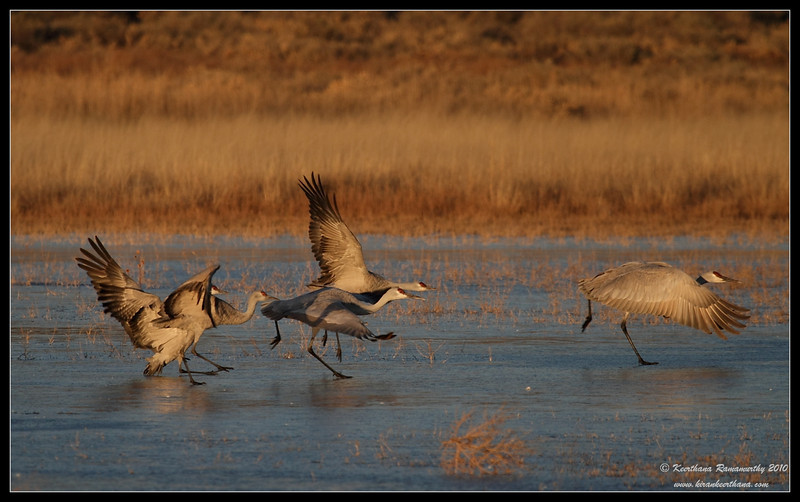 Sandhill Cranes early morning takeoff from a frozen lake, Bosque Del Apache, Socorro, New Mexico, November 2010