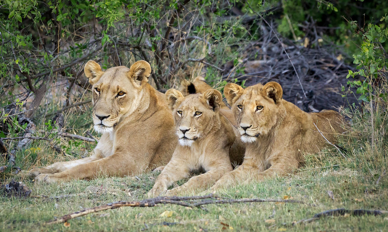lioness-and-cubs-botswana.jpg