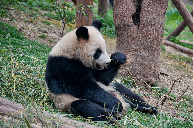 Cup_Panda_eating_Chengdu_Sichuan_China.jpg