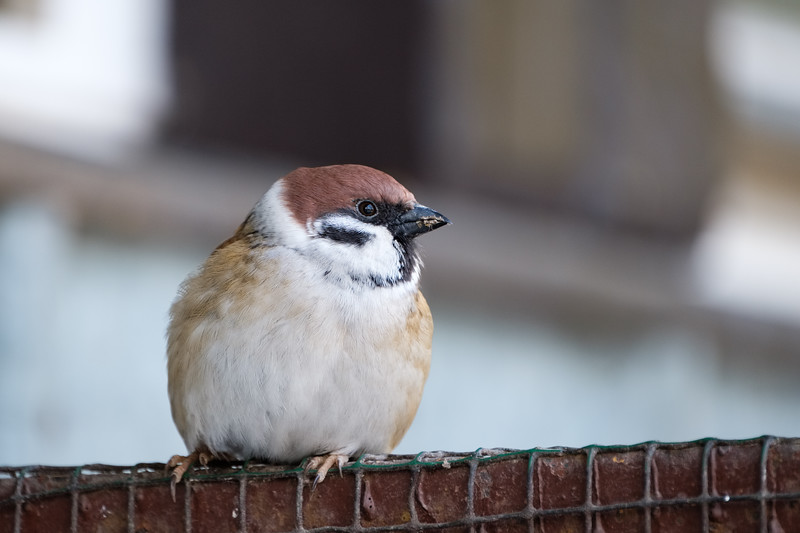 mazurek | tree sparrow | passer montanus