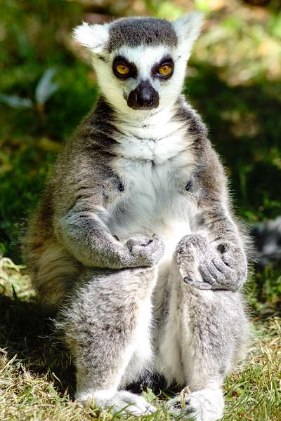 Edinburgh Zoo: Ring Tailed Lemur