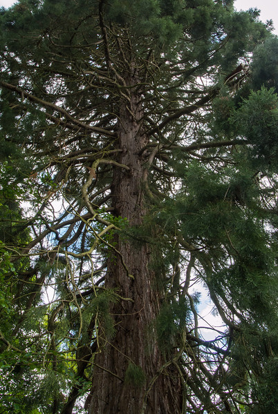 Huge pines at the Culloden House.