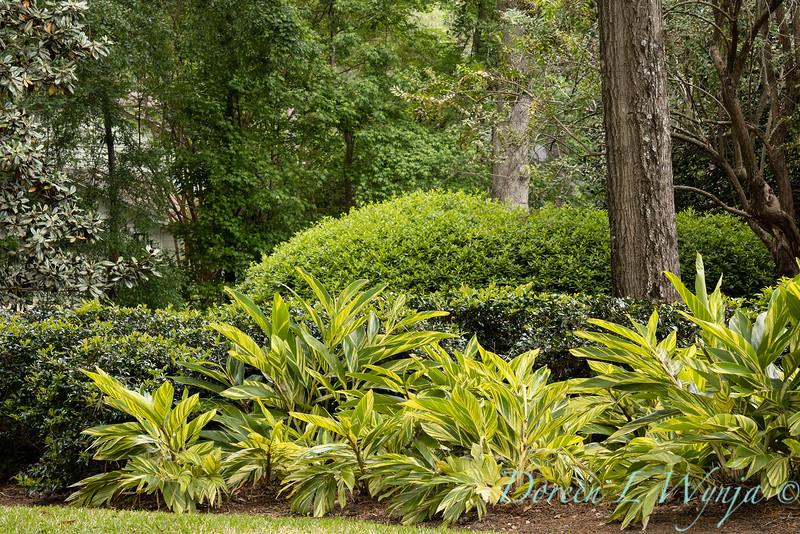 Alpinia zerumbet 'Variegata' shell ginger landscape_2053.jpg