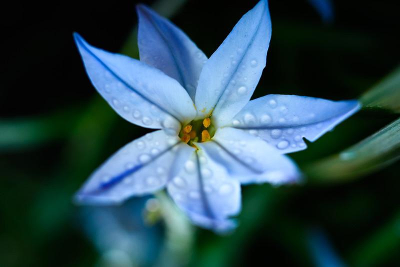 Rain lily-2885.jpg