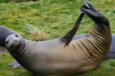 Weddell Seal. South Georgia Island.