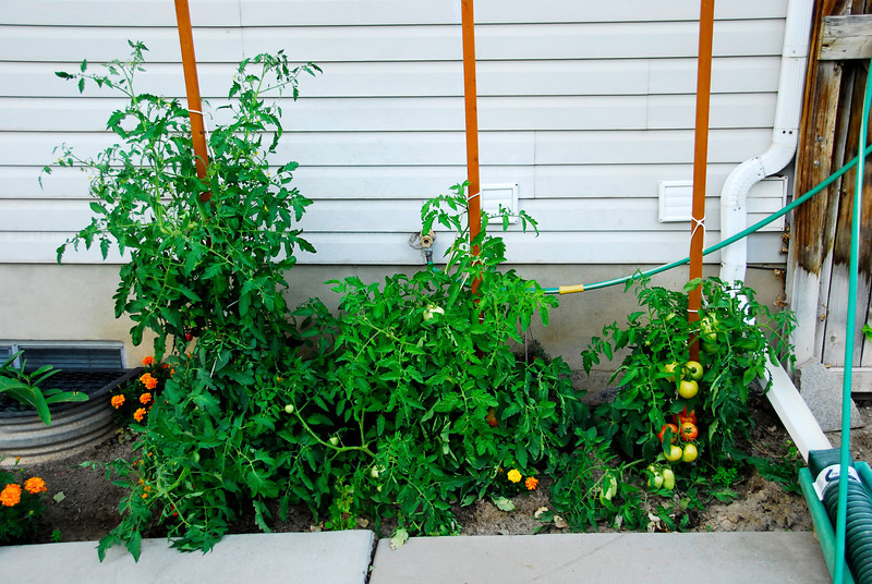 2011/8/16 – These are my tomatoes in the back yard. The plant on the left is about 5 feet tall. There are 5 different varieties of tomatoes so that's why some plants are taller than other. We've already been enjoying the tomatoes, but have at least 200 on the vine that will yet ripen and many new blossoms. Check out what they looked like back on June 12th. Click here: http://tinyurl.com/3ftog2w