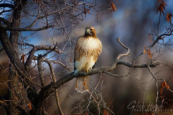 Hawk135_20x30