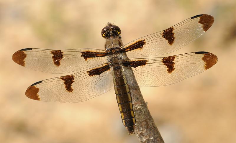 Libellula pulchella (Twelve-spotted Skimmer), GA - female
