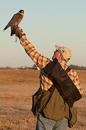 Freja - Female Anatum Peregrine Falcon