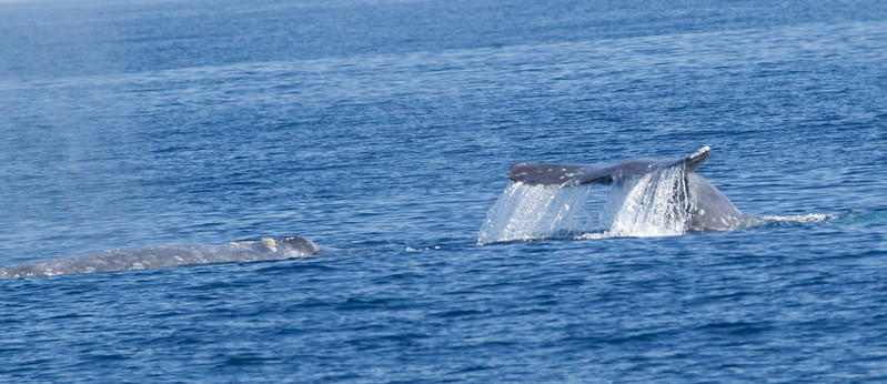 Gray Whale San Diego Waters 2015 01 19-3.CR2