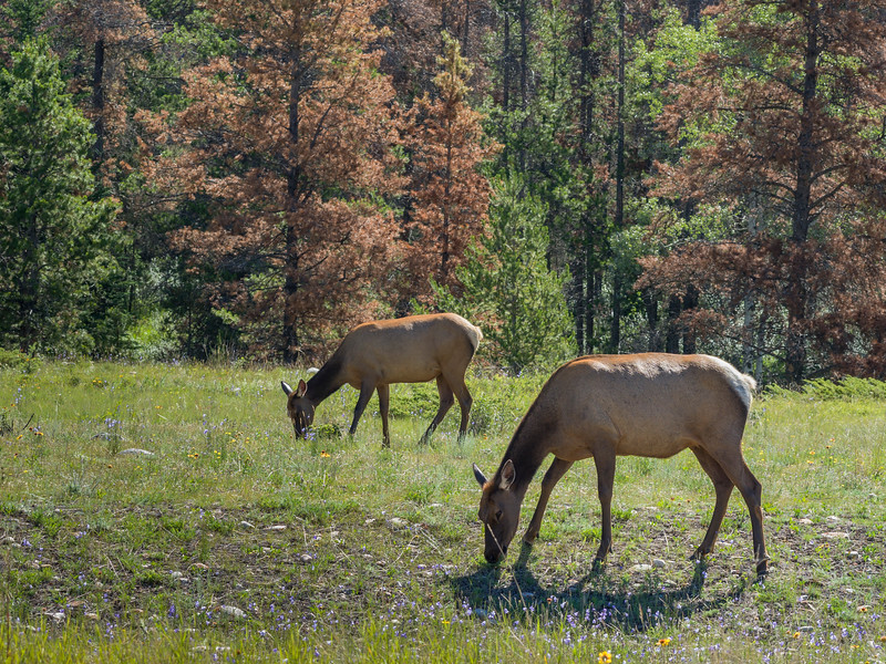 Female elks grazing in forest, Yellowhead Highway, Jasper National Park, Jasper, Alberta, Canada
